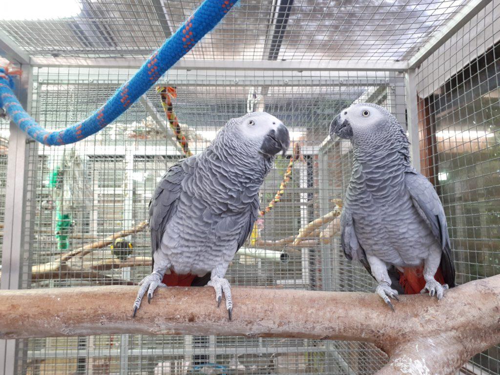 Graupapageienpärchen Carlos und Lola