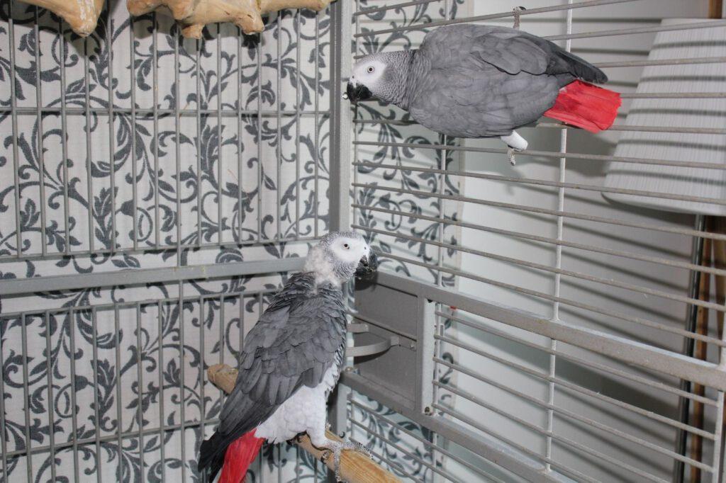 Die beiden Kongo-Graupapageien Coco (25) und Lotti (7)